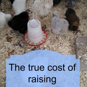 The cost of raising chickens