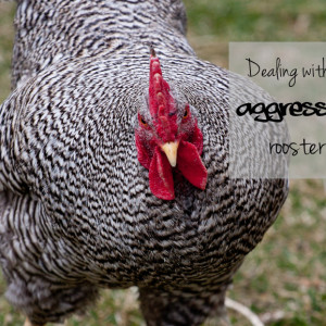 Dealing with an aggressive rooster