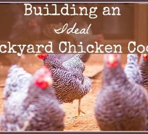 Building an Ideal Backyard Chicken Coop