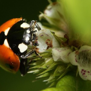 Garden Guide to Beneficial Insects