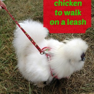 How to train a chicken to walk on a leash