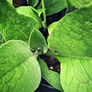 Foraging and Growing Comfrey