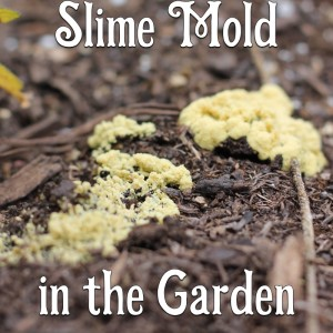 Slime Mold in the Garden – Friend or Foe?