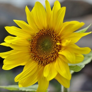 How to Plant Sunflowers