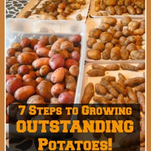 7 Steps to Growing Outstanding Potatoes!