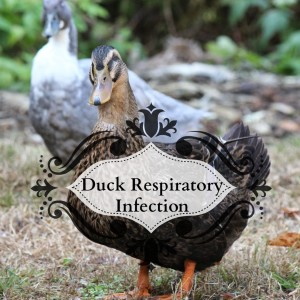 Duck Respiratory Infection: Dealing with Livestock Livestock Illness on a Homestead