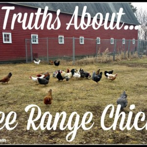 The Truth About Free Range Chickens