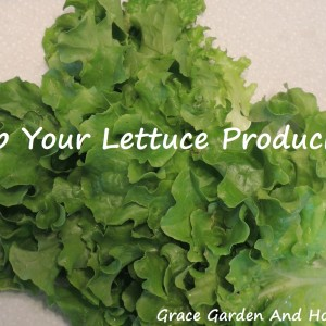 Keep Your Lettuce Producing