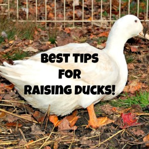 Best Tips for Raising Ducks