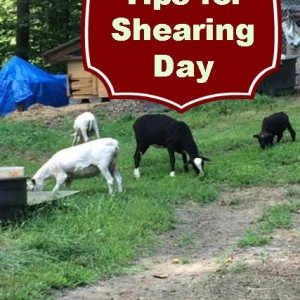 Tips for Shearing Day