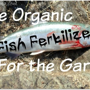 Free Organic Fish Fertilizer for the Garden