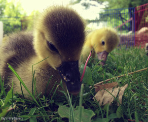 Caring For Goslings