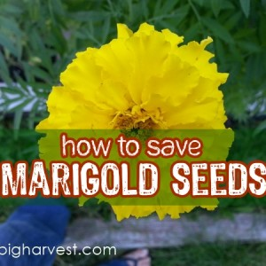 How To Save Marigold Seeds