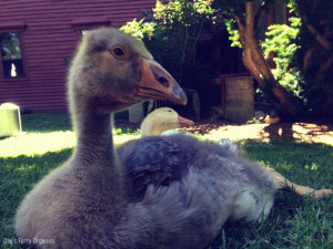 The Growth of Goslings and Chicks