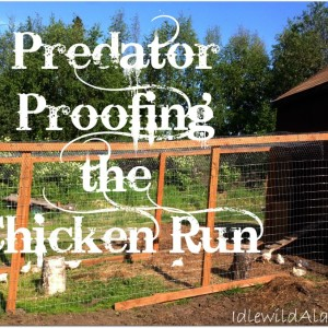 Predator Proofing the Chicken Run