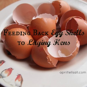 Feeding Back Egg Shells to Laying Hens