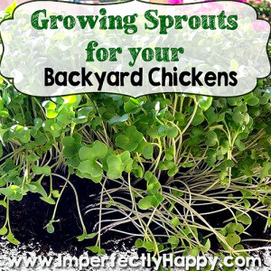 Sprouts for Backyard Chickens