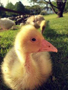 Goose Breeds for Your Farm