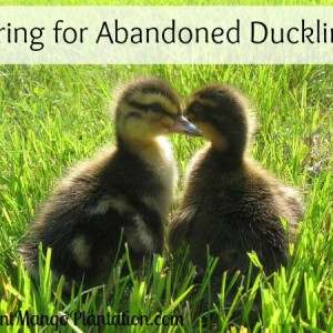 Caring For Abandoned Ducklings