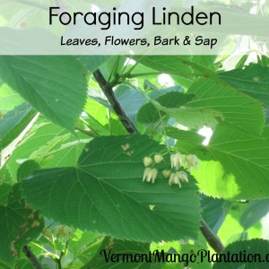 Foraging Linden: Edible Leaves, Flowers, Seeds, Sap & Bark