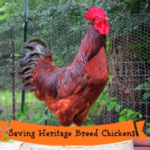 Saving Heritage Breed Chickens