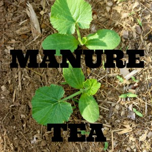 How to Make and Use Manure Tea