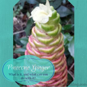 Pinecone Ginger Uses