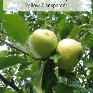 The Earliest Apple: Yellow Transparent