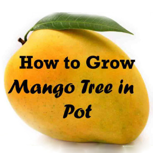 Growing Mango Tree in a Pot