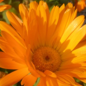 How to Protect Your Plants and Your Skine with Calendula