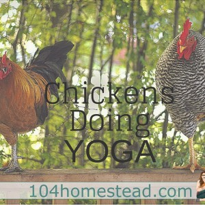 Chickens Doing Yoga