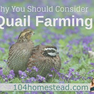 Flock of a Different Feather: Why you should consider keeping quail.