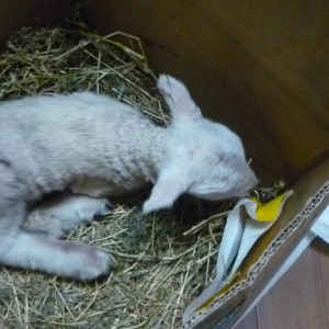 Raising an Orphaned Lamb