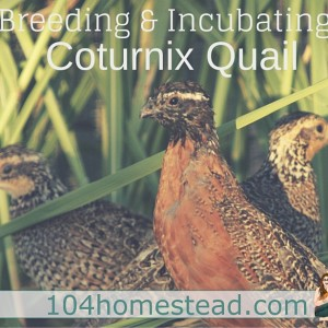 Breeding & Incubating Coturnix Quail