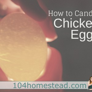 How to Candle Chicken Eggs