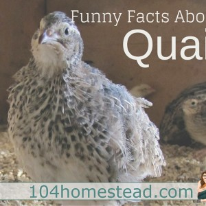 6 Funny Facts About Quail