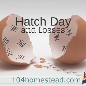 Hatch Day & Losses: Chicken Hatching