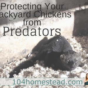 Protecting Your Backyard Chickens from Predators