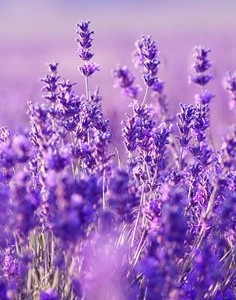 Helpful Herbs: Lavender