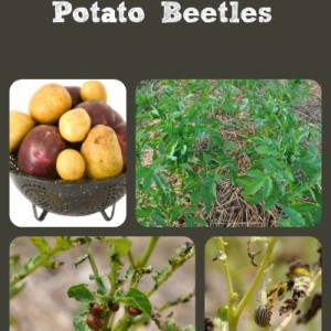 Controlling Potato Beetles