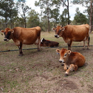 The story of our house cows – part 3