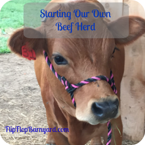 Starting Our Own Beef Herd