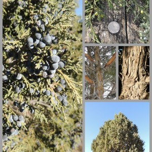 Foraging For Juniper