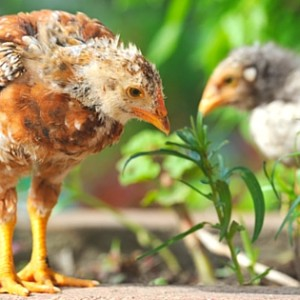 7 Ways To Use Chickens In Your Permaculture Garden