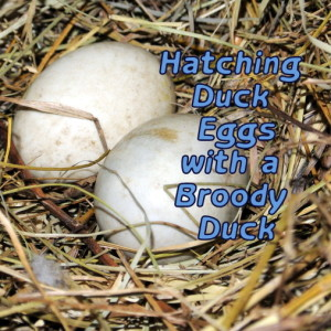 Hatching Eggs and a Broody Duck