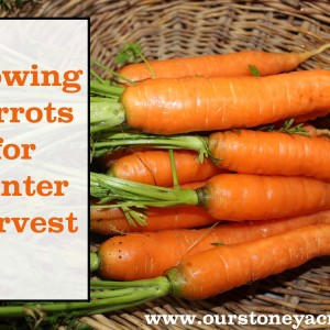 Growing Carrots for Winter Harvest