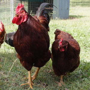 Six reasons to consider chicken tractors