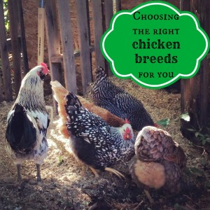 Selecting the right chicken breeds for you
