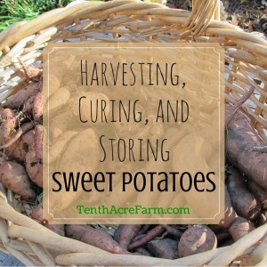 Harvesting, Curing and Storing Sweet Potatoes