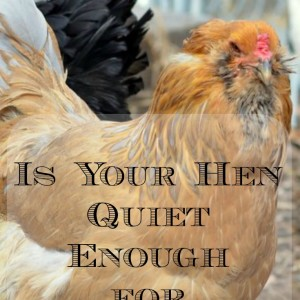 Quiet Chickens – What Breeds to Choose in the Suburbs